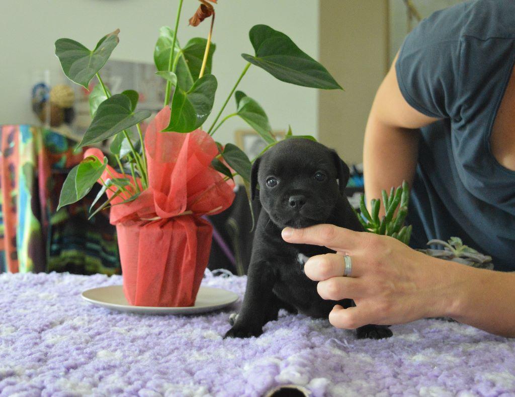 Femelle sans Collier - Staffordshire Bull Terrier