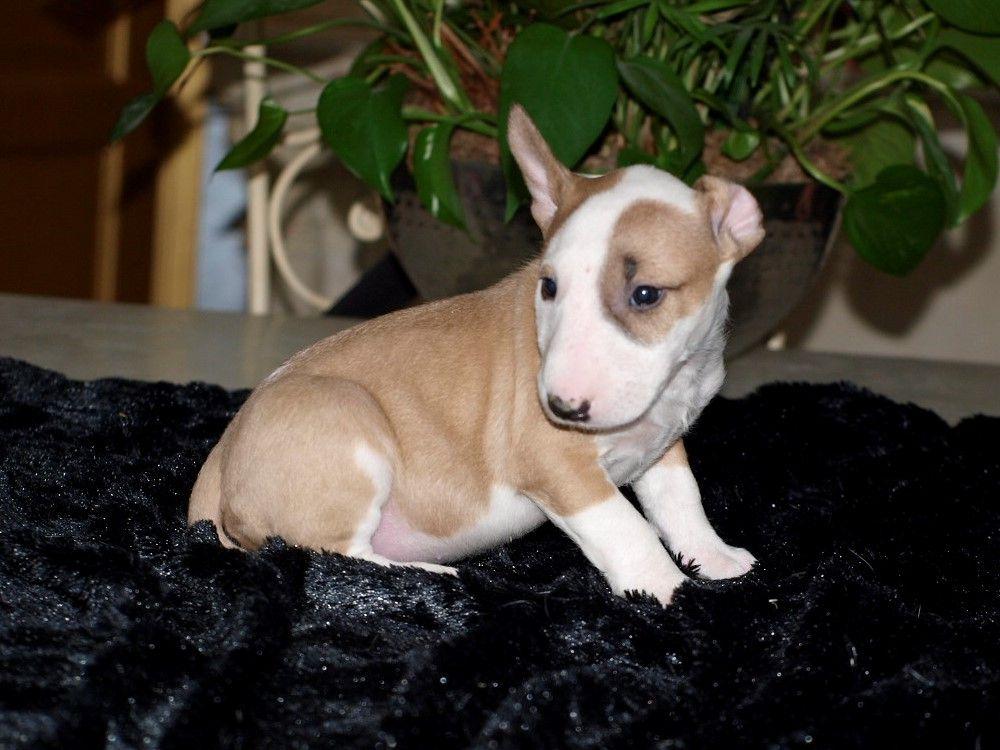 chiot femelle 3 couleur fauve et blanc - Bull Terrier