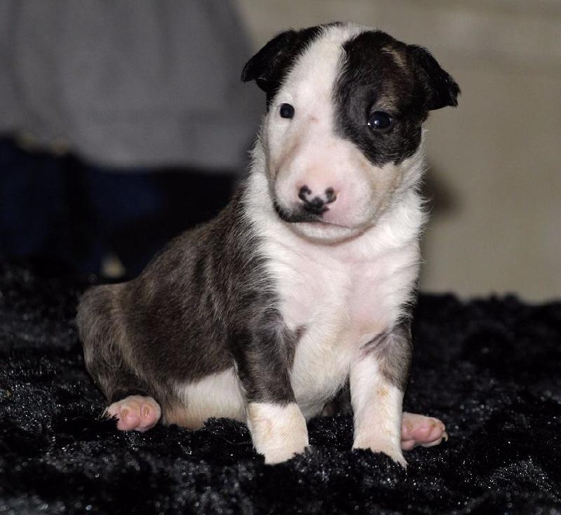 Du Monde Des Bulls  - Chiot disponible  - Bull Terrier