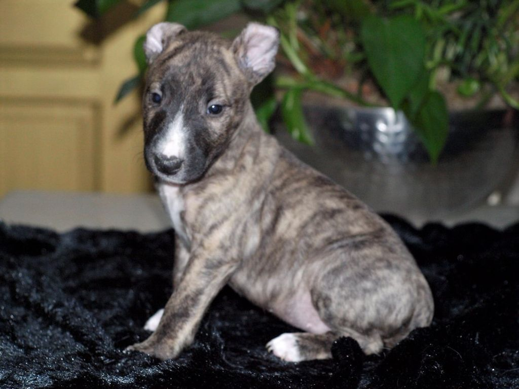 chiot mâle 2 couleur bringé - Bull Terrier