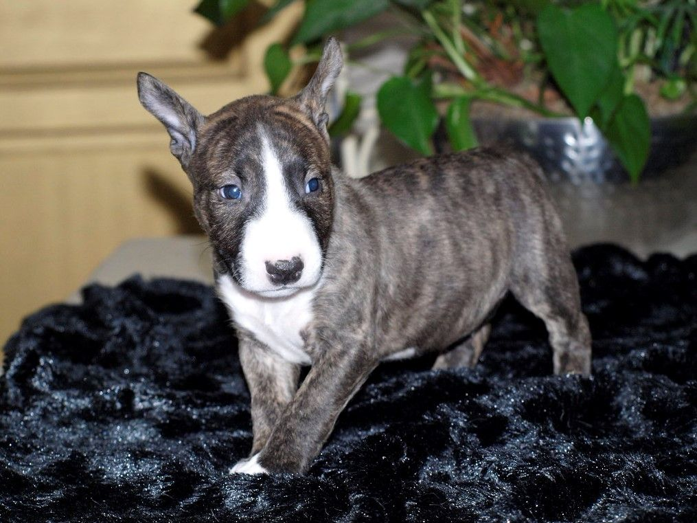 chiot mâle 1 couleur bringé - Bull Terrier