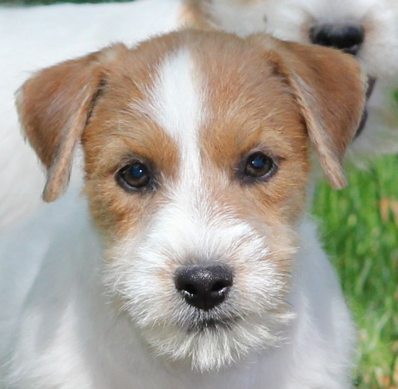 Royal Fox Road - Chiot disponible  - Jack Russell Terrier