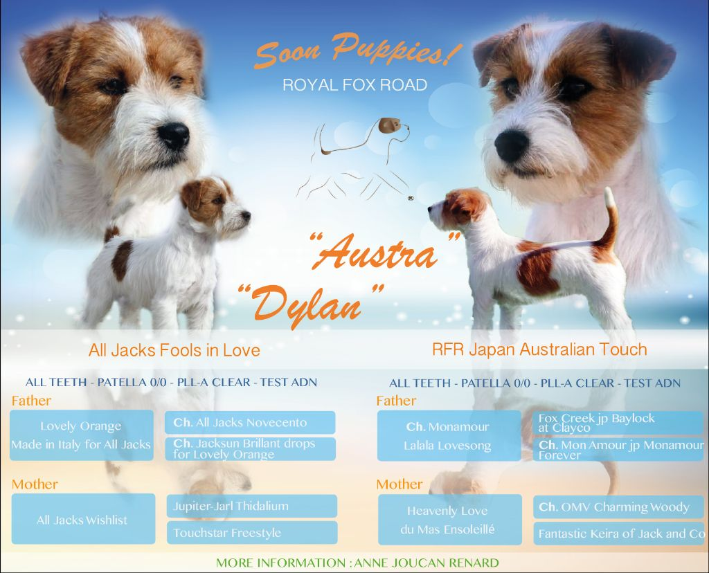 chiot Jack Russell Terrier Royal Fox Road