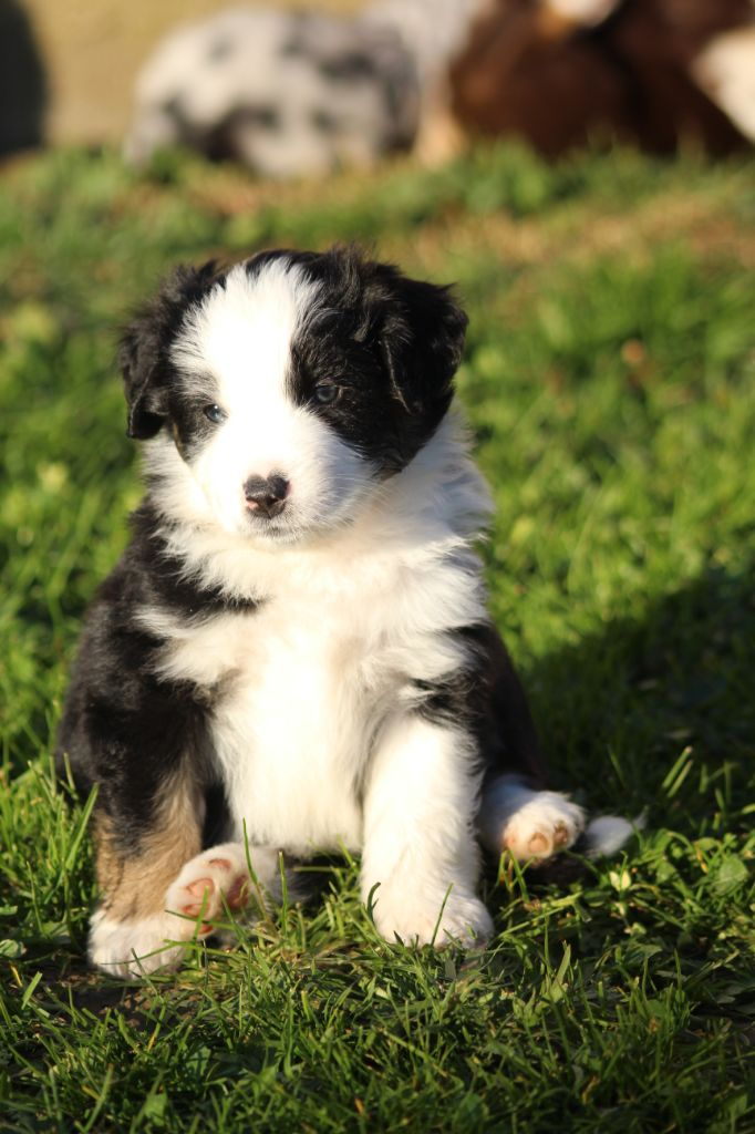 Of Winner Mistral - Chiot disponible  - Mini Berger Americain