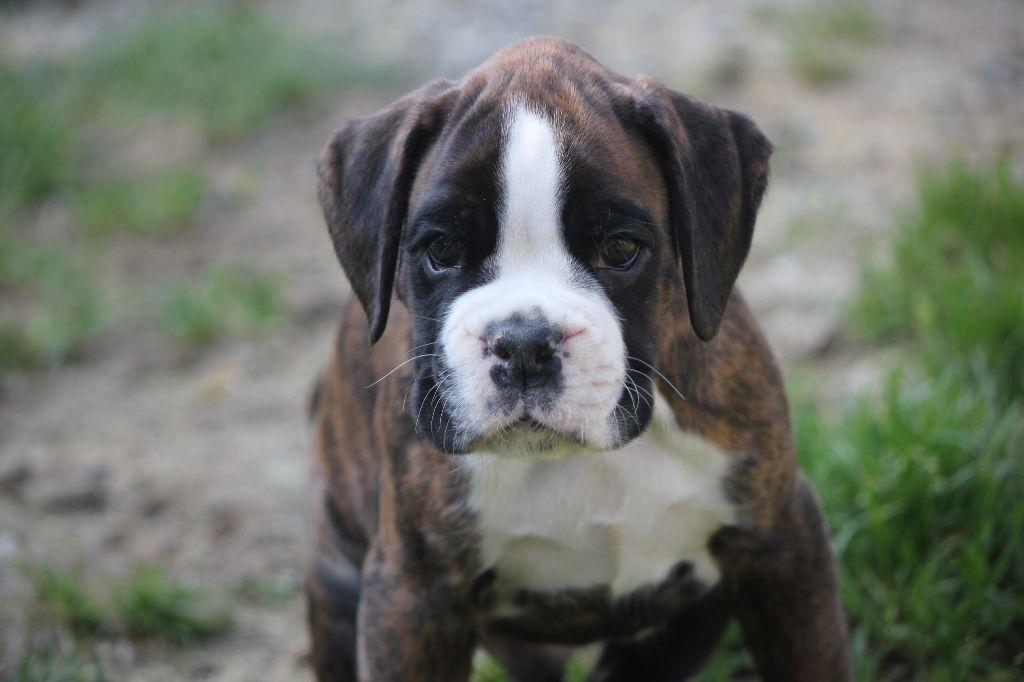 Orazio - Boxer