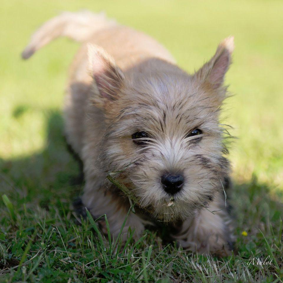 Chiot - Elevage Du Bocage Des Soeurs - eleveur de chiens ...