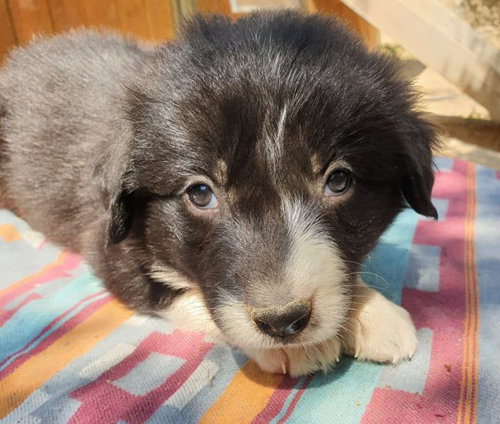 Lytoux's Spirit - Chiot disponible  - Border Collie