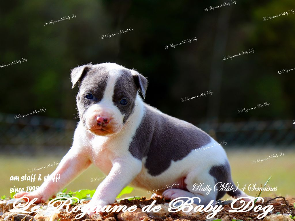 ROCKY 2 - American Staffordshire Terrier