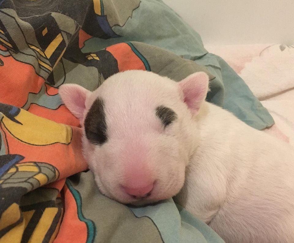 Bull's Den - Chiot disponible  - Bull Terrier