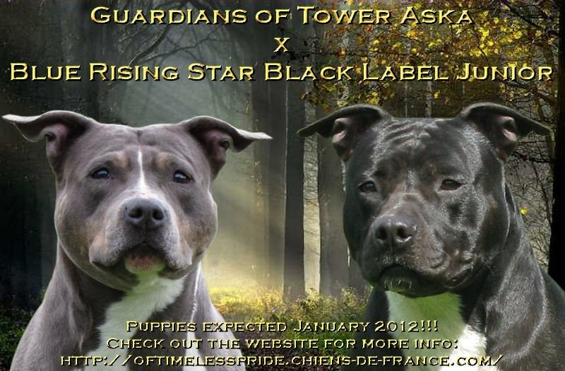 chiot American Staffordshire Terrier Of Timeless Pride