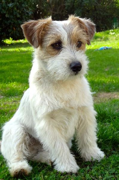 accueil elevage du domaine de l 39 hermine eleveur de chiens jack russell terrier. Black Bedroom Furniture Sets. Home Design Ideas