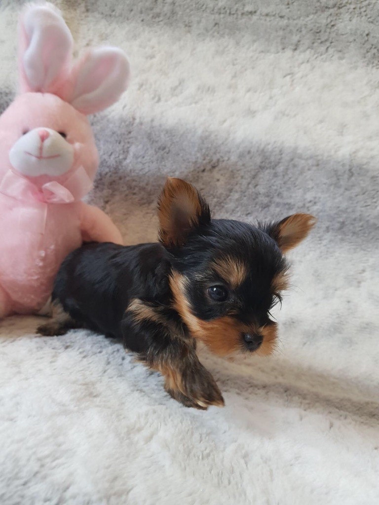 CHIOT CYAN - CRISTAL - Yorkshire Terrier