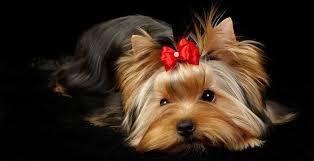 Accueil vergers des hesp rides pension petites races elevage canin berger allemand - Coupe de poils pour yorkshire ...