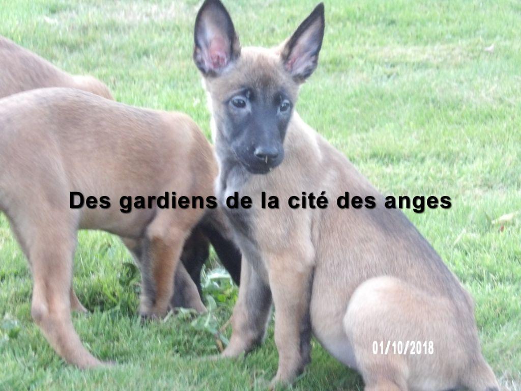 des Gardiens De La Cité Des Anges - Chiot disponible  - Berger Belge
