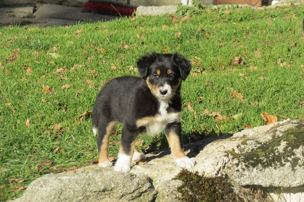 Kyalito's - Chiot disponible  - Border Collie