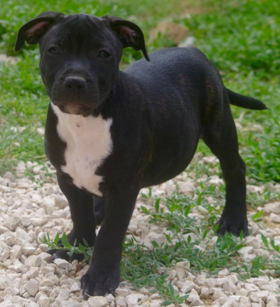 O'LADY - Staffordshire Bull Terrier