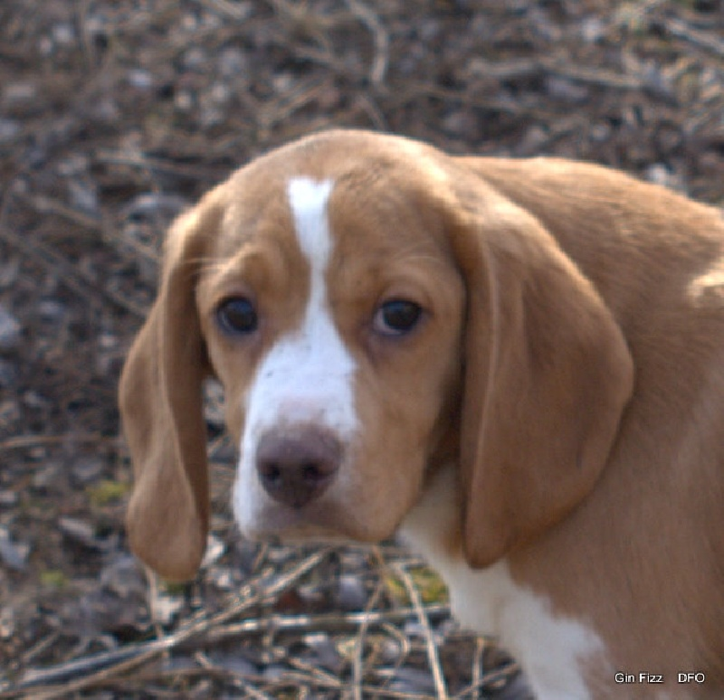 Gin fizz des fauves d 39 orient chien de race toutes races en - Chien beagle adulte ...