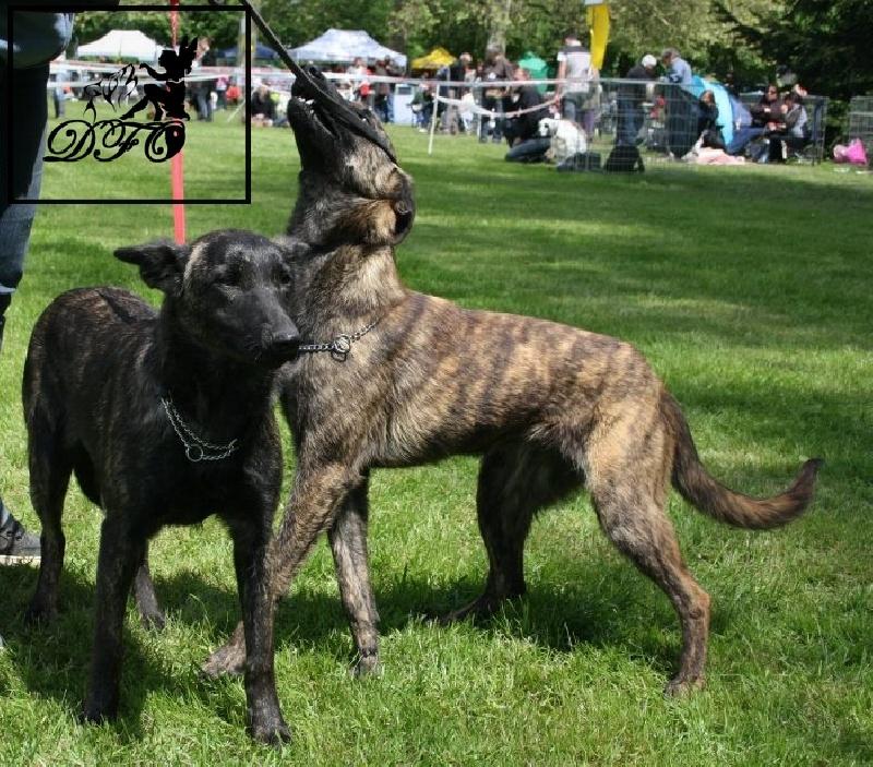 chien elevage des fauves d 39 orient eleveur de chiens berger hollandais. Black Bedroom Furniture Sets. Home Design Ideas