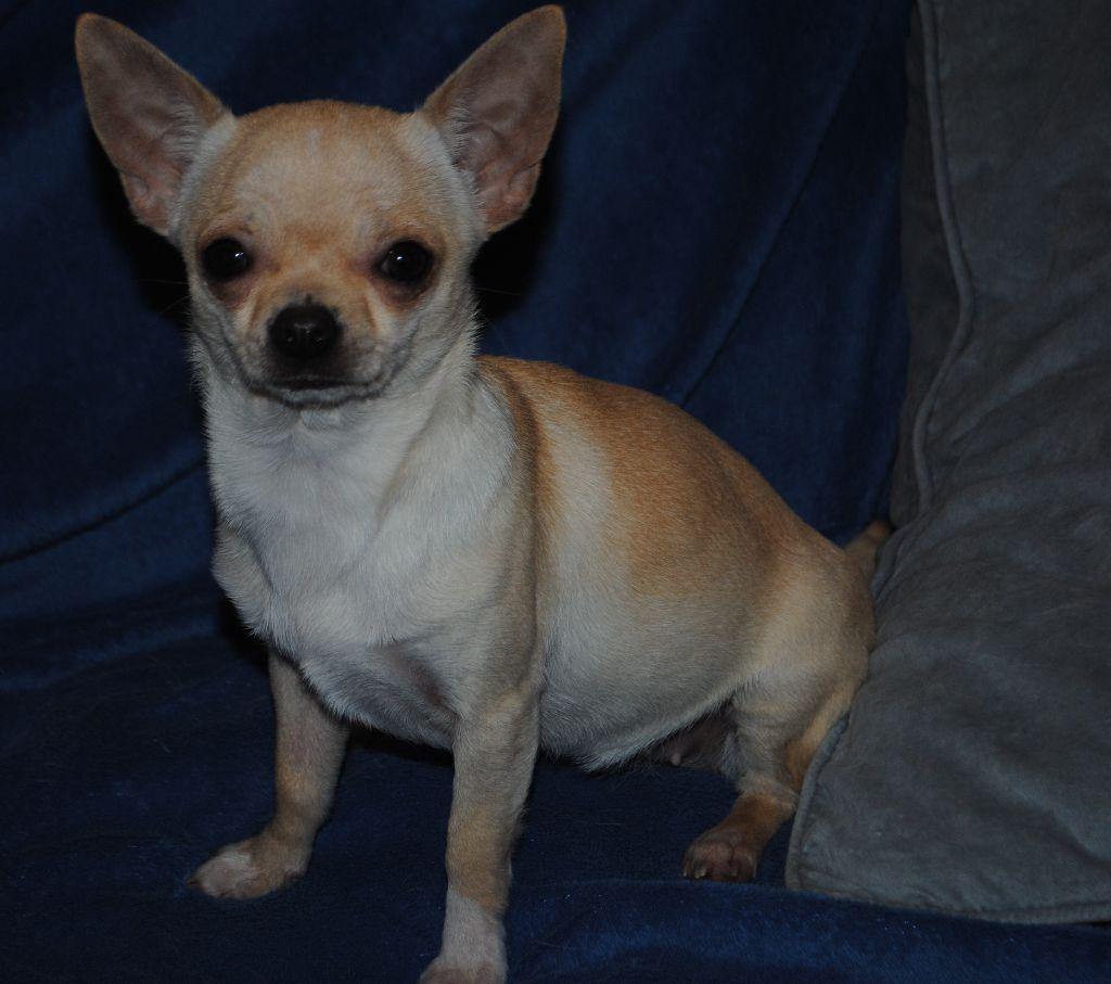 Des Dunes De Keremma - Chiot disponible  - Chihuahua