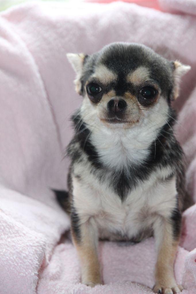 Morgana - Chihuahua