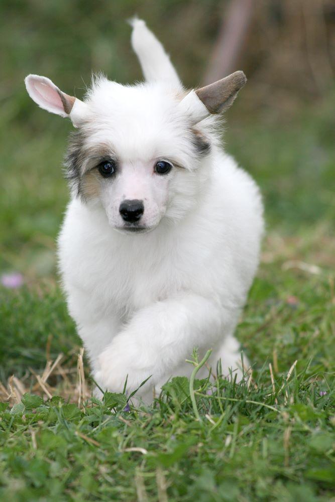 Chiot - Elevage Romantic Fairy Tale - eleveur de chiens Chien chinois à crête