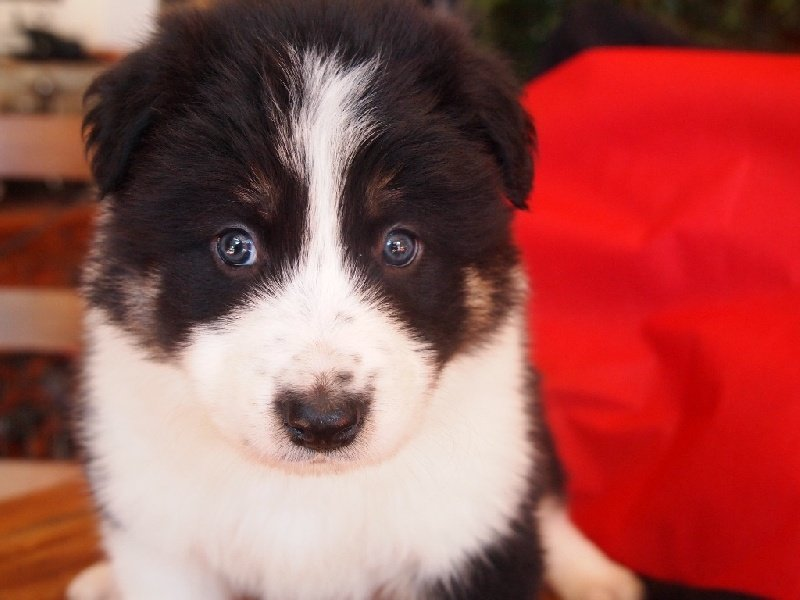 Du Pic De Nore - Chiot disponible  - Border Collie