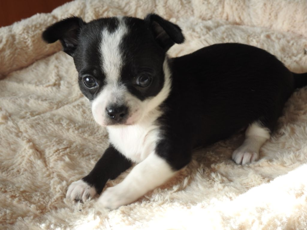 De Plessibelliere - Chiot disponible  - Chihuahua