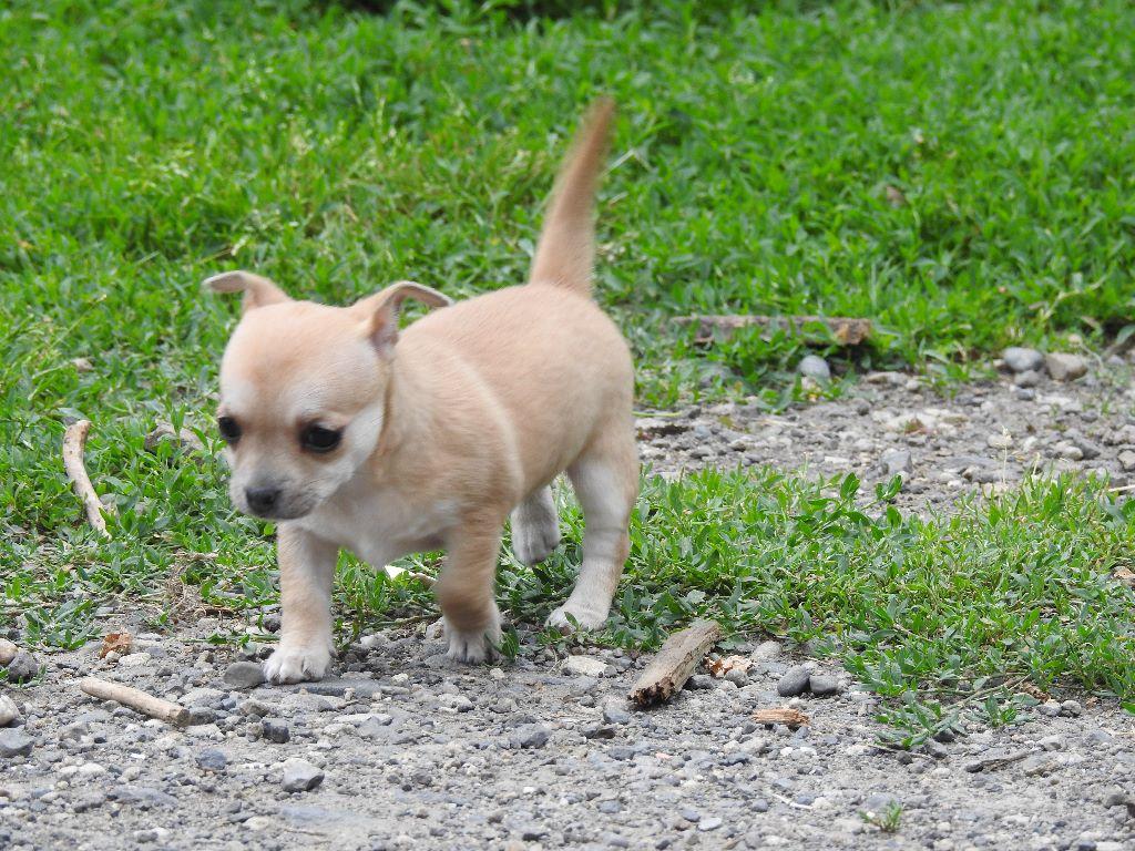 O'hara Scarlette - Chihuahua