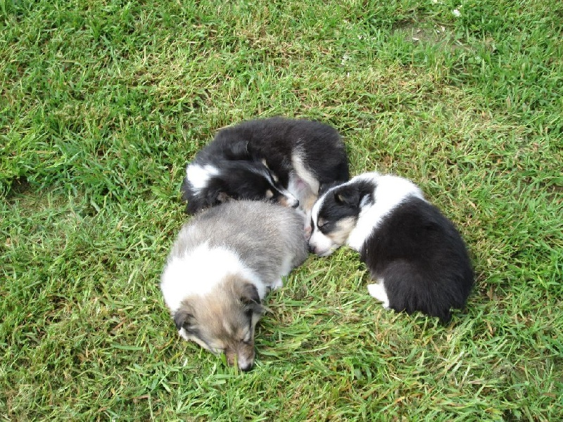 Du clos holy land - Chiot disponible  - Shetland Sheepdog