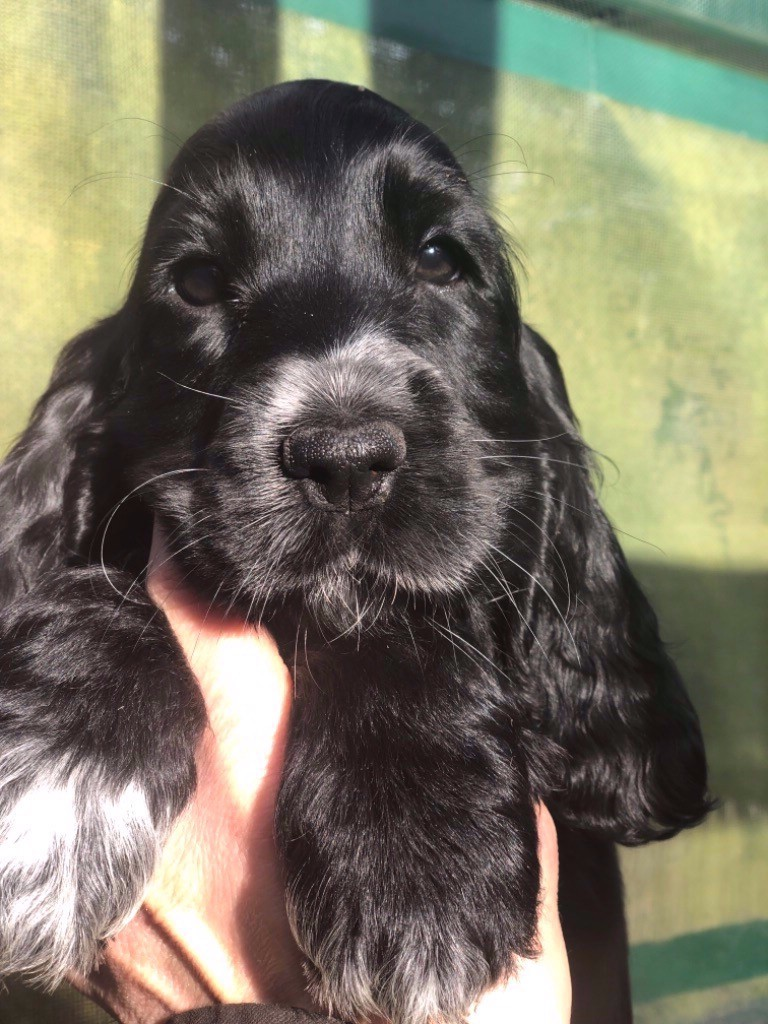 So sweet and Lovely - Chiot disponible  - Cocker Spaniel Anglais