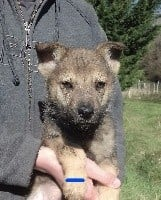 Chien-loup tchecoslovaque - Chiots chien loup tchecoslovaque LOF - Les gardiens de la tulierie