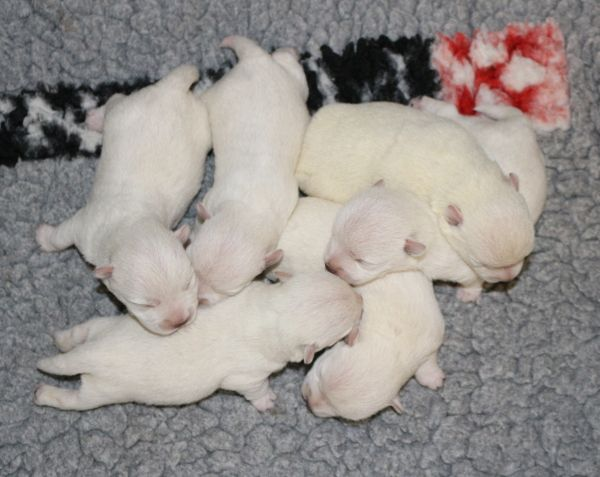 Des coeurs d'alène - Chiot disponible  - West Highland White Terrier