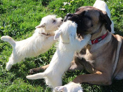 chiot West Highland White Terrier Des coeurs d'alène