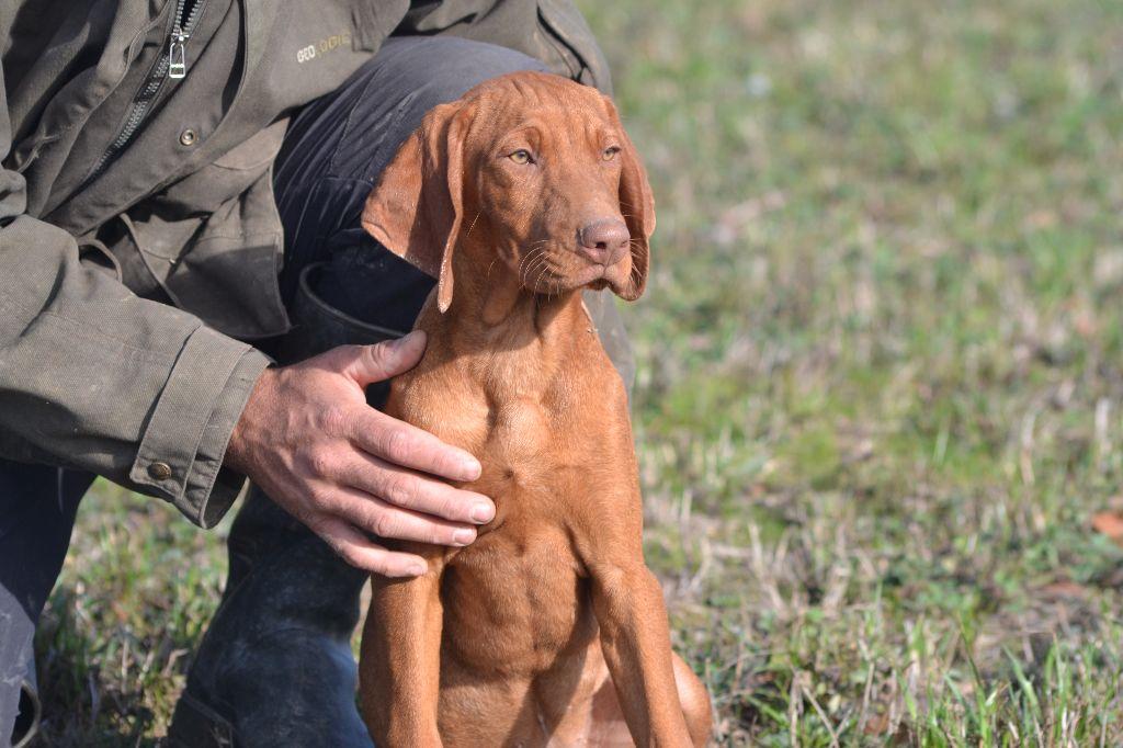 des Bois de la Fessille - Chiot disponible  - Braque hongrois à poil court - Vizsla