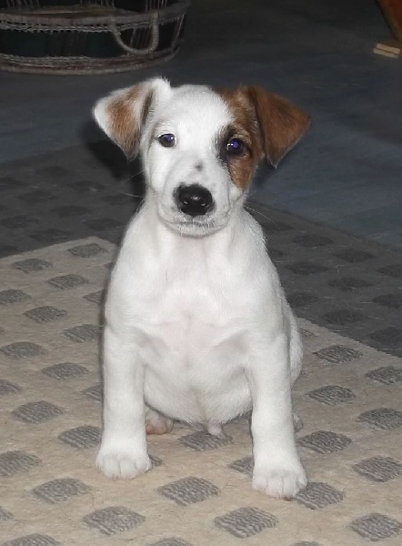 CHIOT - Fox Terrier Poil lisse