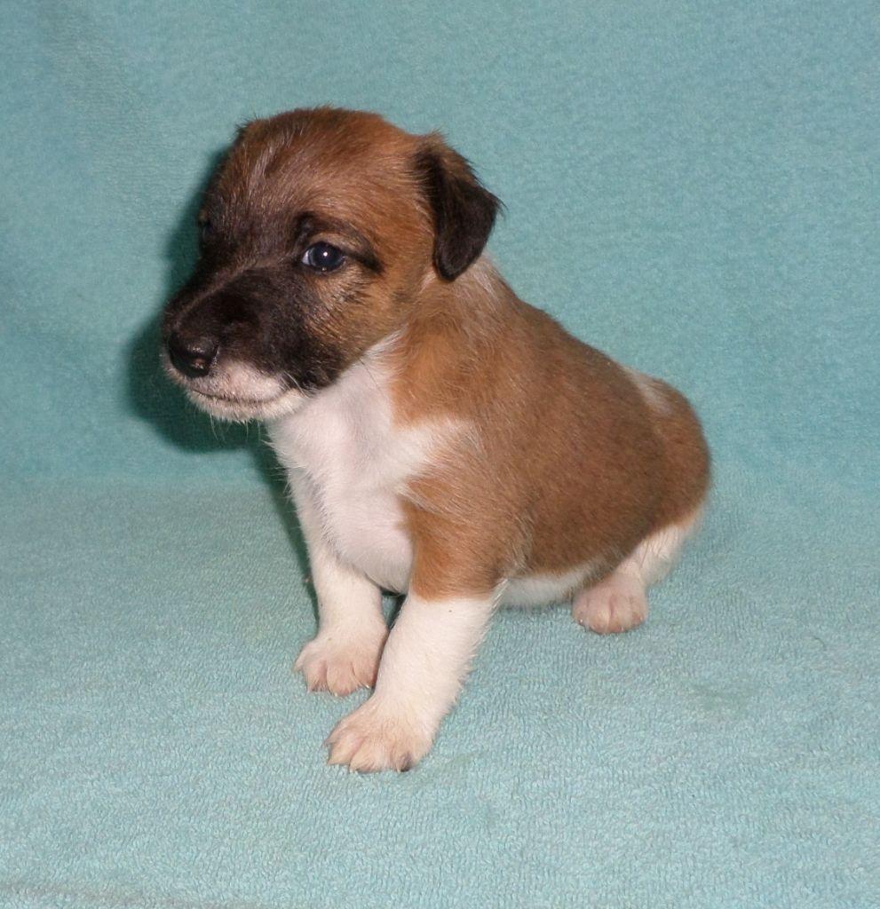 De la rose magique - Chiot disponible  - Fox Terrier Poil lisse