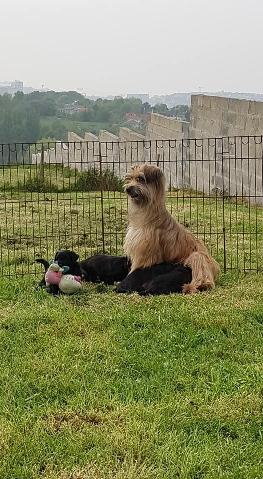 De La Mesta Pastores - Berger des Pyrenees à poil long - Portée née le 01/04/2019