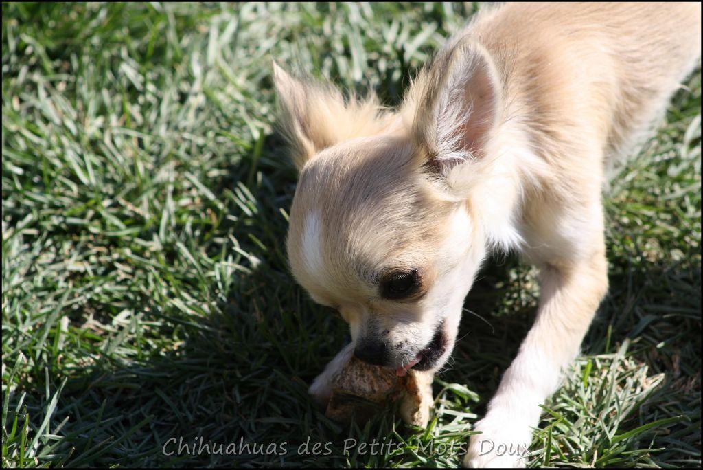 Ninja - Chihuahua
