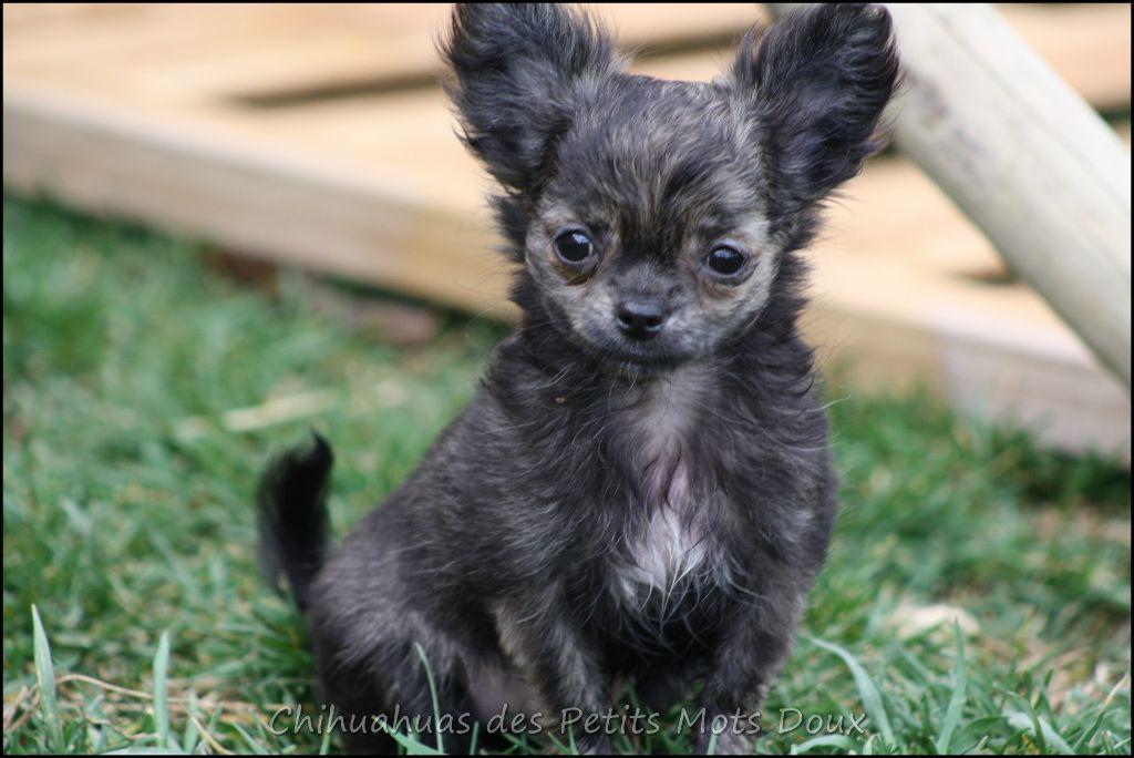 Nouchka  - Chihuahua