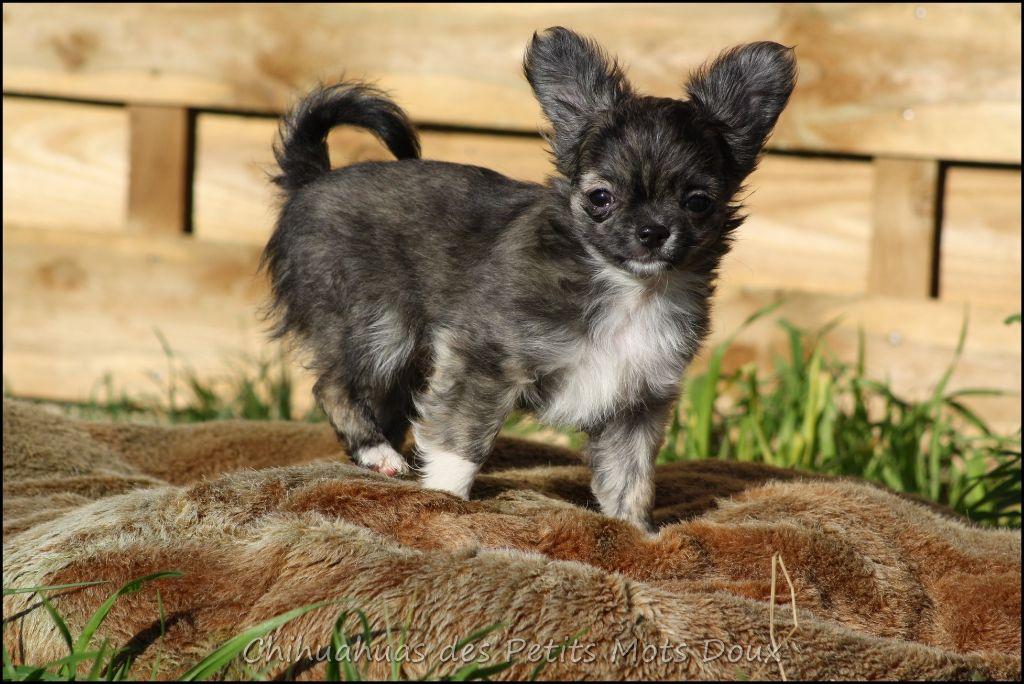 CHIOT - Chihuahua