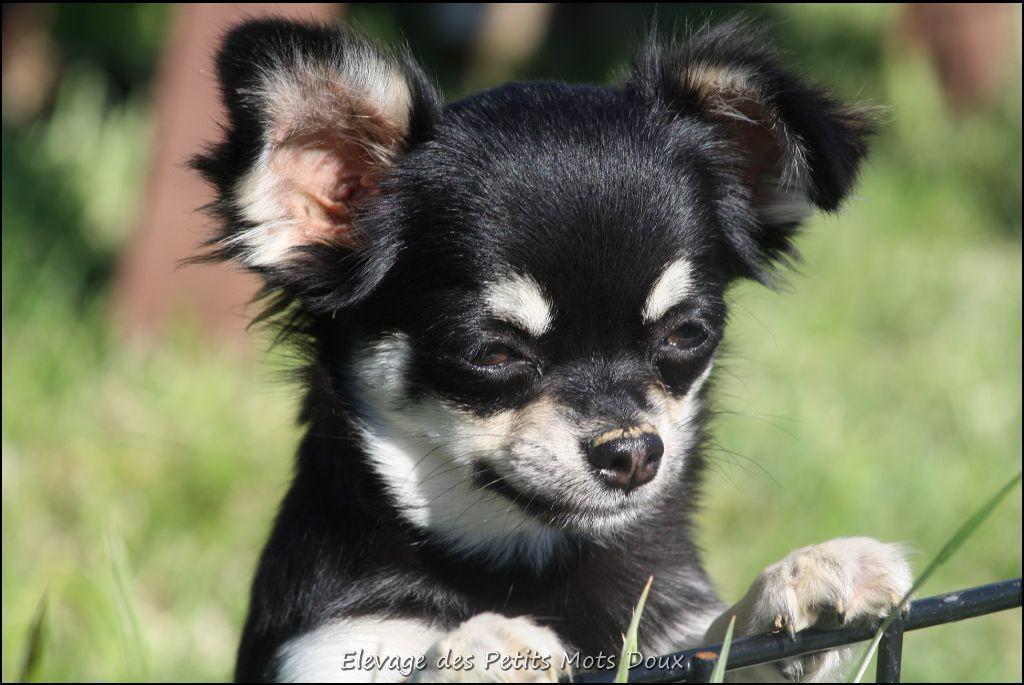 des Petits Mots Doux - Chiot disponible  - Chihuahua