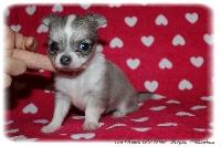 Du Ranch Des Petits Morgan - Chiot disponible  - Chihuahua