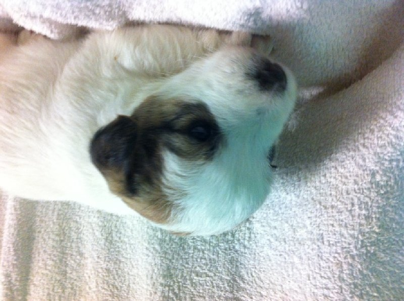 Live with hope - Chiot disponible  - Jack Russell Terrier