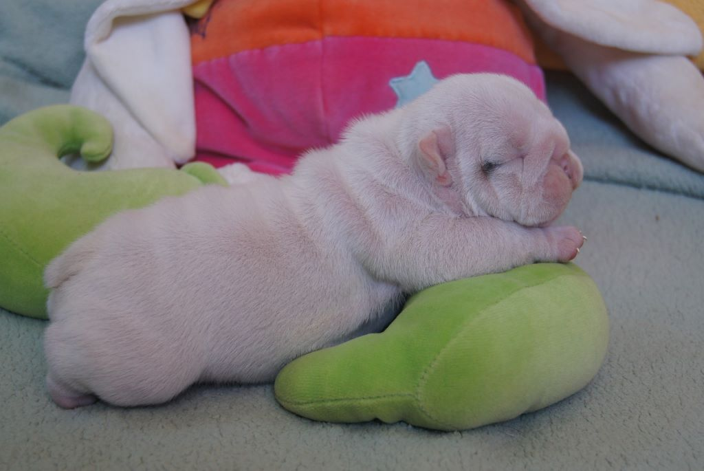 Ruby Jewel - Chiot disponible  - Bulldog Anglais