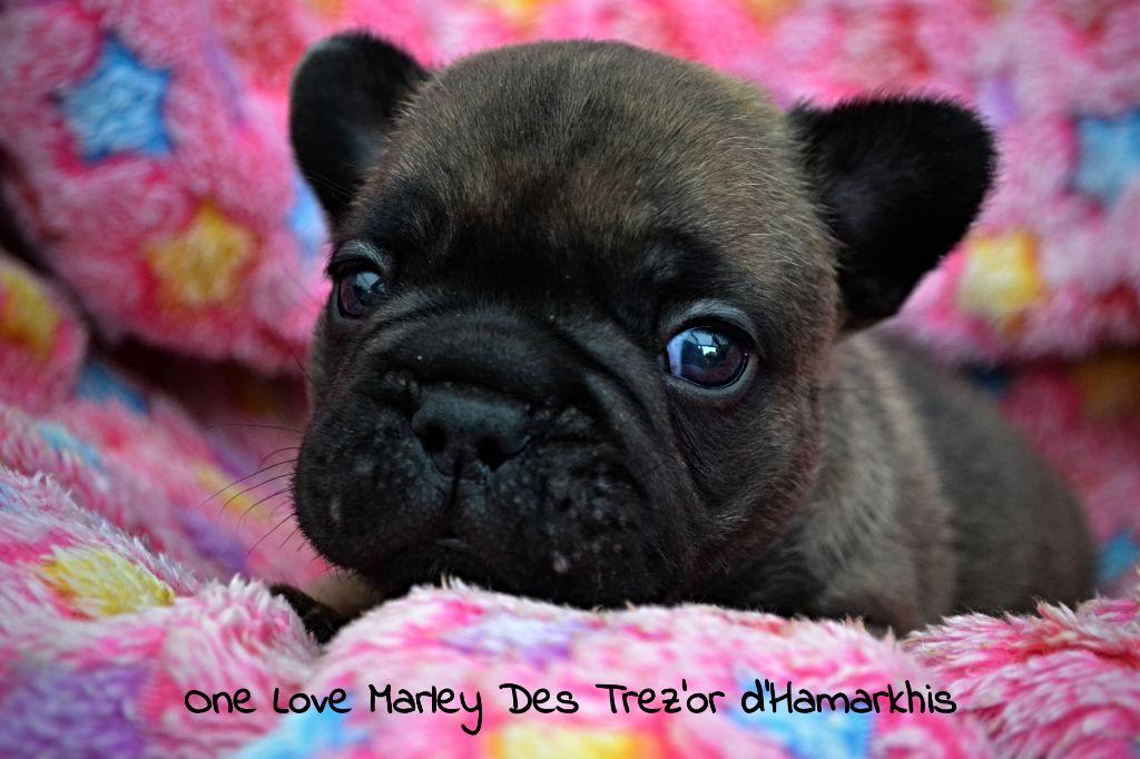 One love Marley ( dit Marley) - Bouledogue français