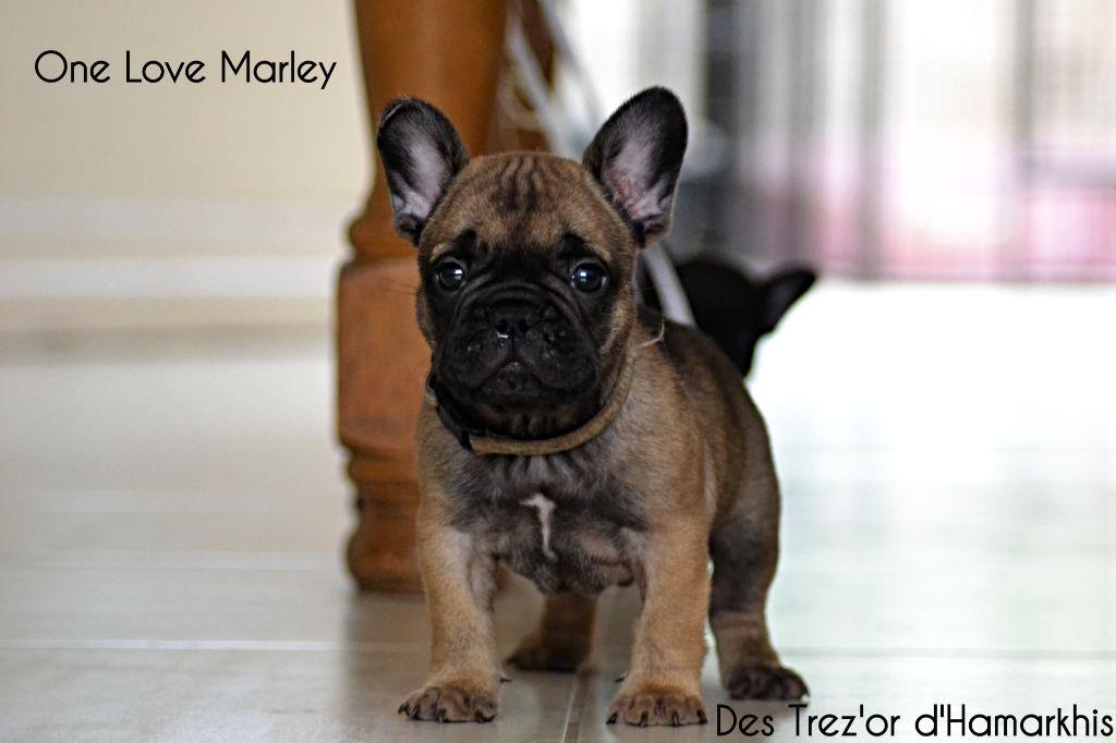 Marley - Bouledogue français