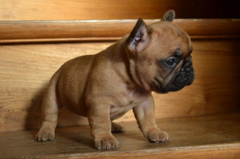 Learn How to Introduce Your French Bulldog to a Cat (Step ...