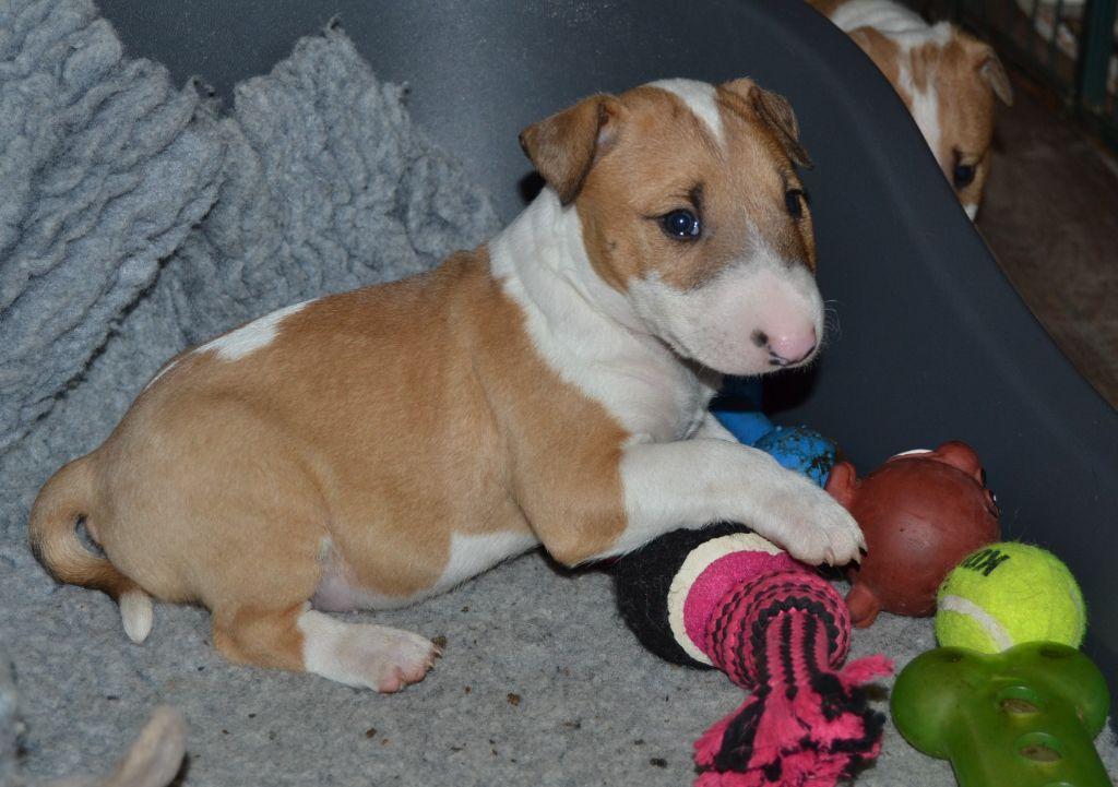 CHIOT - Bull Terrier Miniature