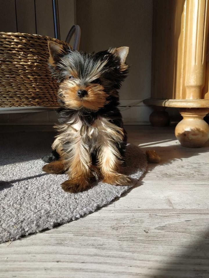 paddington - Yorkshire Terrier