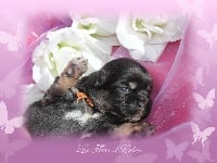 De La Fleur D'eden - Chiot disponible  - Epagneul tibetain